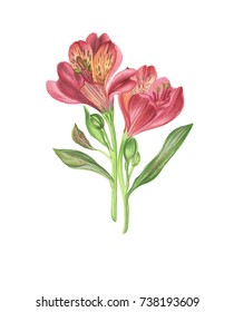 Alstromeriya. Watercolor pink flower. Watercolor flower with leaves. Botanical illustration. Hand drawn illustration. Floral elements Isolated on white. botanical art. vintage flower. green leaves.