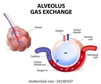 Gas Exchange HD Stock Images   Shutterstock
