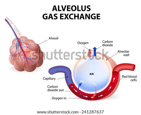 Alveolus Gas Exchange Pulmonary Alveolus Alveoli Stock Illustration ...