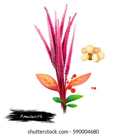 Amaranth vegetable isolated on white. Hand drawn illustration of Amaranthus, cultivated as leaf vegetables, pseudocereals, and ornamental plants. Organic food. Digital art with paint splashes effect.