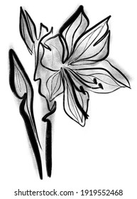 Amaryllis flower in calligraphic technique on a white background