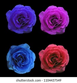 amazing pink, red, blue, purple roses  print pattern for all textile texture isolated  black background