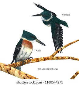 Amazon Kingfisher 3D illustration - Amazon Kingfishers usually perch on a branch near a river and then plunge head first into the water to hunt small prey.