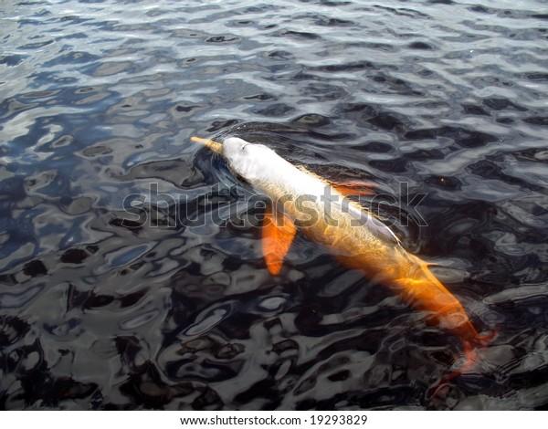 Amazon River Dolphin, Pink Dolphin, ( Inia geoffrensis ) Rio Negro Amazona, Brazil