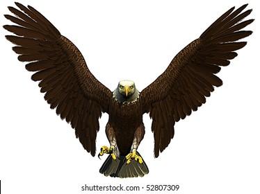 american bald eagle flying front