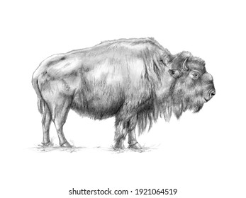 American bison (bison bison) graphite and charcoal portrait. Traditional illustration on paper.