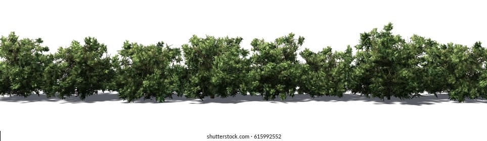 american boxwood hedge - isolated on white Background - 3D rendering