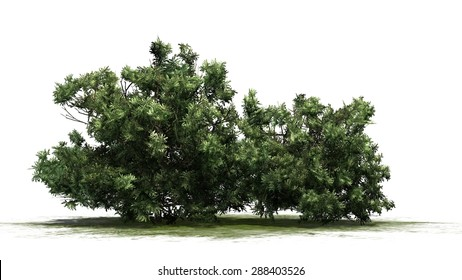 american boxwood - separated on white background