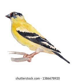 The American Goldfinch. Hand painted, isolated on white background watercolor drawing of bird.