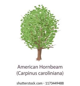 American hornbeam icon. Flat illustration of american hornbeam icon for web