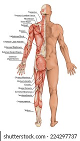 anatomical board, male anatomy, man's anatomical body, human muscular system, surface anatomy, body shapes, posterior view, full body