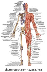 anatomical body, human skeleton, anatomy of human bony system, body surface contour and palpable bony prominences of the trunk and upper and lower limbs, anterior view, full body