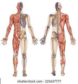 anatomical body, human skeleton, anatomy of human bony system, body surface contour and palpable bony prominences of the trunk and upper and lower limbs, anterior posterior view, full body