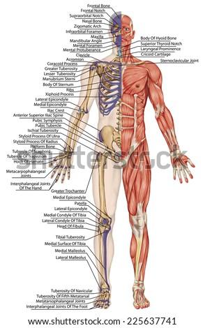 Anatomical Body Human Skeleton Anatomy Human Stock Illustration ...