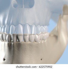 Anatomical dental model of human teeth for dentistry, dental care, medical students. 3d illustration