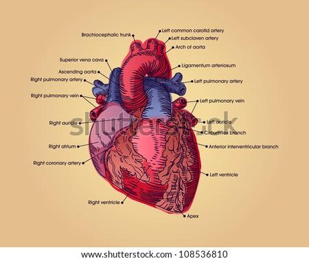 Anatomical Heart Illustration Text Stock Illustration 108536810