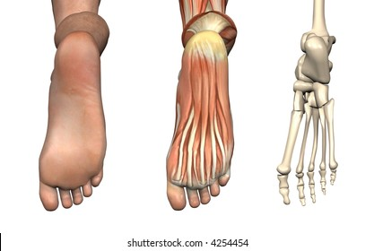Anatomical Overlays - Bottom of the Foot - These images will line up exactly, and can be used to study anatomy. 3D Render