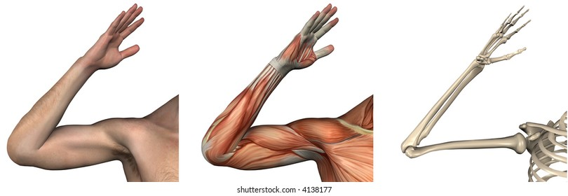 Anatomical Overlays - right arm - these images will line up exactly, and can be used to study anatomy - 3D render
