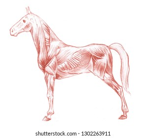 Anatomical sketch of horse's muscular system on white background
