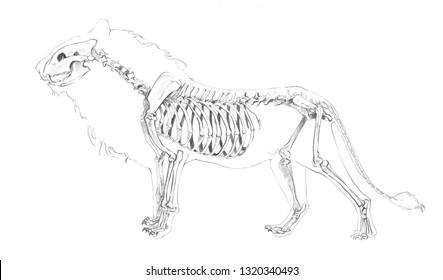 Pencil Sketch Lion Images Stock Photos Vectors Shutterstock