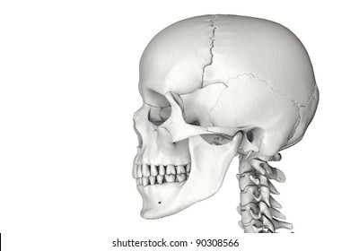 Anatomically correct human male skull in 3D