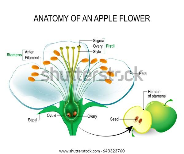 Illustration de stock de Anatomie d'une fleur de pomme