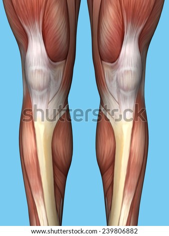 Anatomy Back Leg Featuring Quadriceps Hamstrings Stock Illustration