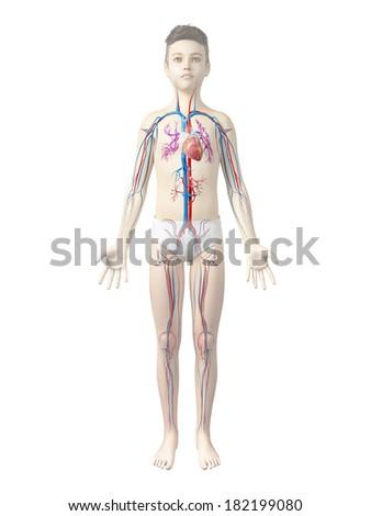 Anatomy Boy Vascular System Stock Illustration 182199080 Shutterstock