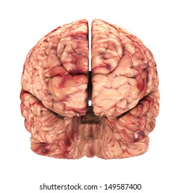 Anatomy Brain - Front View Isolated on White