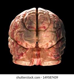 Anatomy Brain - Front View on Black Background