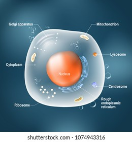 Anatomy of cell. All organelles: Nucleus, Ribosome, Rough endoplasmic reticulum, Golgi apparatus, mitochondrion, cytoplasm, lysosome, Centrosome. Animal cell on the dark background.