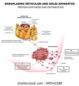 Anatomy of the Cell Nucleus, Endoplasmic reticulum and Golgi Apparatus. Protein synthesis and distribution detailed drawing.