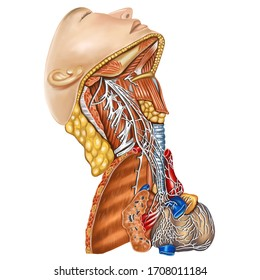 Anatomy, Cervical sympathetic trunk, nerves of the heart, right view, digital art image color illustration
