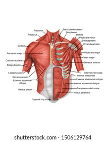 Anatomy of the chest with labels