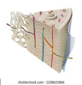 Anatomy Of Compact Bone