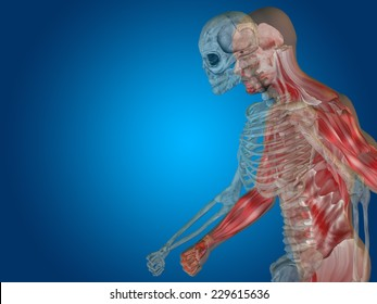 Anatomy concept or conceptual human man body chest, head blue bright background, metaphor to medical, science, health, male, biology, medicine, bone, anatomical, muscular, system, face, cranium, spine