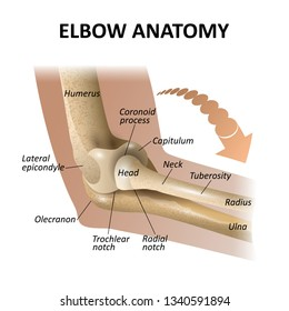 Anatomy of the elbow joint, medical education background, isolate model mockup for posters. Illustration as a template for banners.