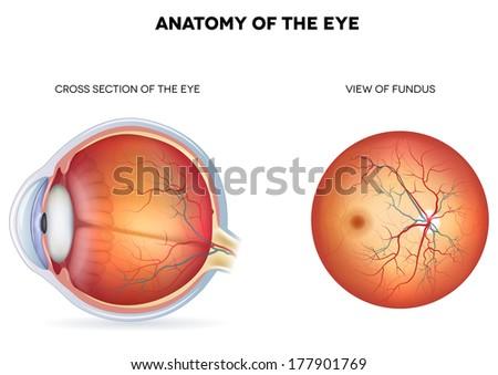 Diagram Of Fundus Of Eye Wire Data Schema