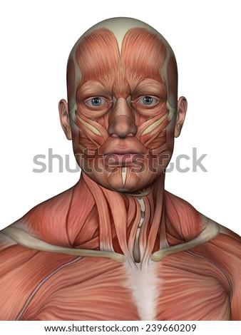 Anatomy Face Neck Muscle Featuring Platysma Stock Illustration ...
