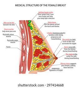 anatomy of the female breast