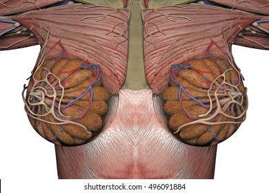 anatomy of the female breast. 3d rendering