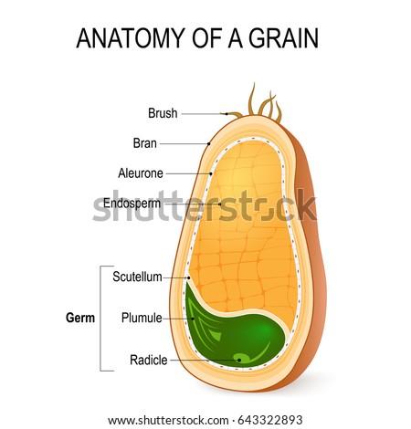 anatomy grain cross section inside seed stock illustration