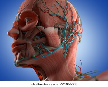 Anatomy head muscles. 3D illustration.