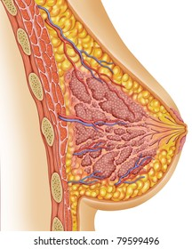 anatomy of the healthy breast of a woman,