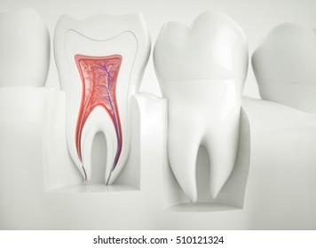 Anatomy of healthy teeth - 3d rendering