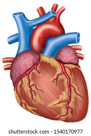 Anatomy of the heart with the main arteries and veins that compose it, highlighting the left coronary artery,