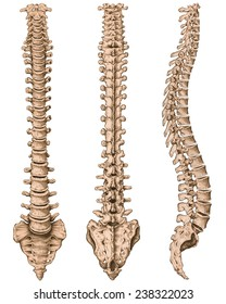 anatomy of human bony system, human skeletal system
