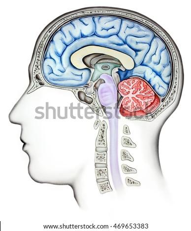 Anatomy Human Brain Cutaway Side View Stock Illustration 469653383 ...