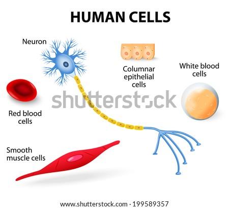Anatomy Human Cells Neuron Red White Stock Illustration 199589357