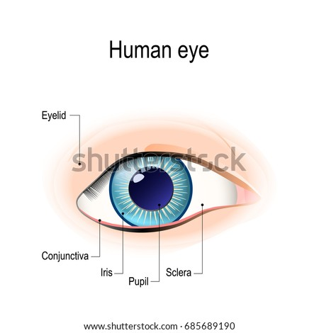 Diagram Of Eyelid The Human Eye Data Wiring Diagrams